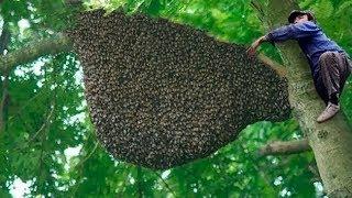 شاهد كيف يتم جمع أغلى عسل في العالم , لن تصدق كم يبلغ سعره الخيالي