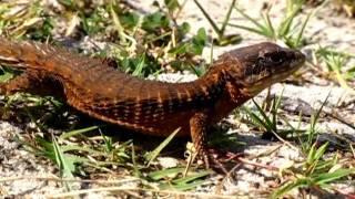 Forest Armadillo Lizard Video 001, David Barkasy, REPTILESTOGO.COM