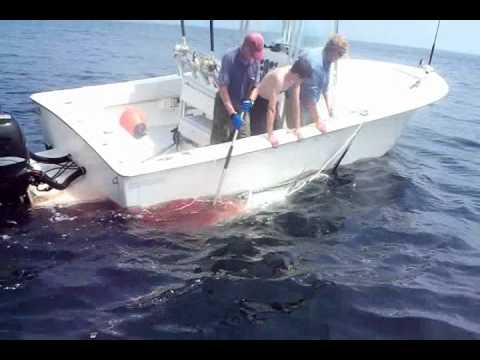 "Thumbnail: 712lb - 101"" Giant Bluefin Tuna on a Tiagra 50 and 90lb Fluorocarbon Stellwagan Bank Gloucester, MA"