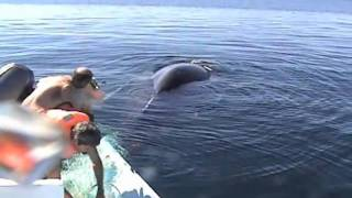 Saving a Humpback Whale from nets