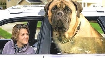 Top 10 suurinta koiria maailmassa - hauska koira videoita rotuja. kokoaminen