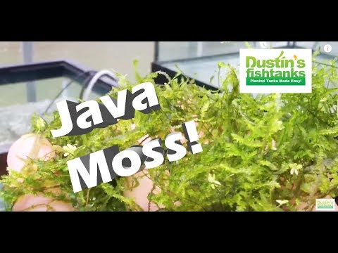 How to Grow Aquarium Moss: Java Moss, Taiwan Moss Species Su