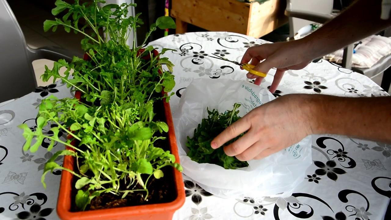 Lieblings Rucola anbauen, pflegen & ernten ++ Garten & Balkon ???? ++ &BR_53
