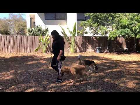 Bella | Golden Retriever