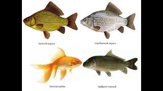 Золотые рыбки уход и содержание на примере карася.