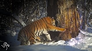 Rehabilitated Tiger Gives Birth In The Wild