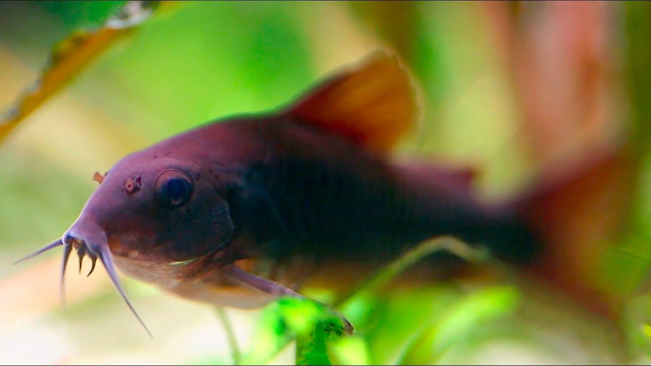 Cory catfish corydoras schultzei black youtube for Cory cat fish