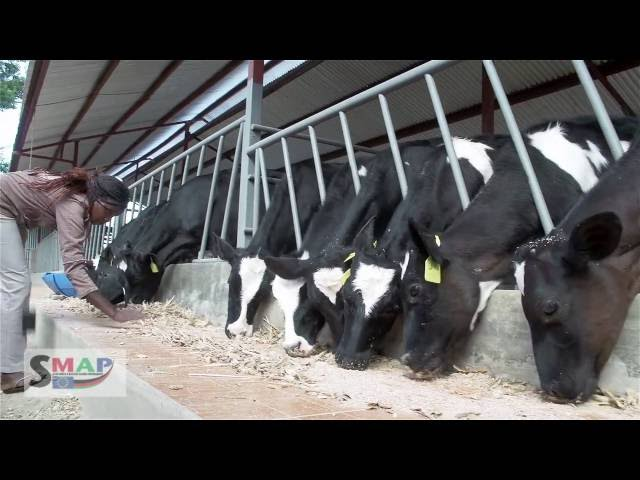 Tips on Good Calf Rearing Practices in Dairy Farming
