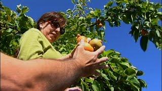 Urban Fruit Gleaning