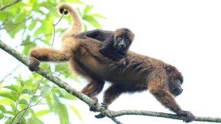 Macaco bugio comendo frutos de canela e folhas de figueira