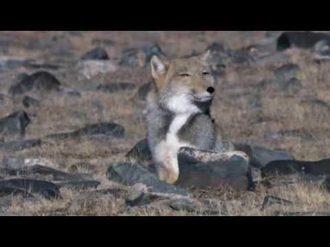 охотится фото лиса