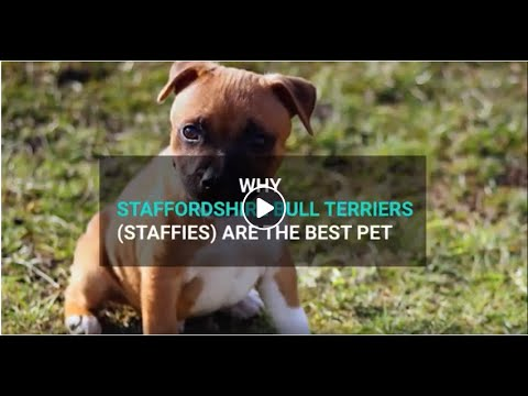Why Staffordshire Bull Terrier (Staffy) Make The Best Pet For Any Family