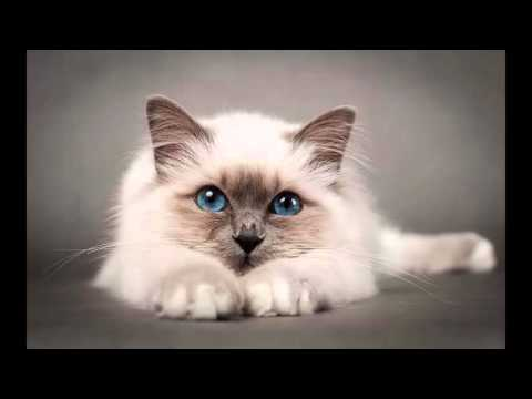 most beautiful cats / kedi cinsleri - birman / cat breeds - birman