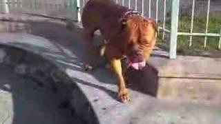 Dogue De Bordeaux Zeus
