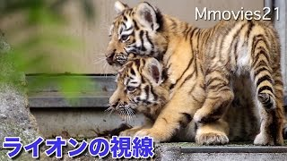 Amur tigers at the Asahiyama zoo,Hokkaido,Japan. Zaria (female/6). ...