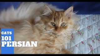 Persian Cats 101  Cat Breed And Personality