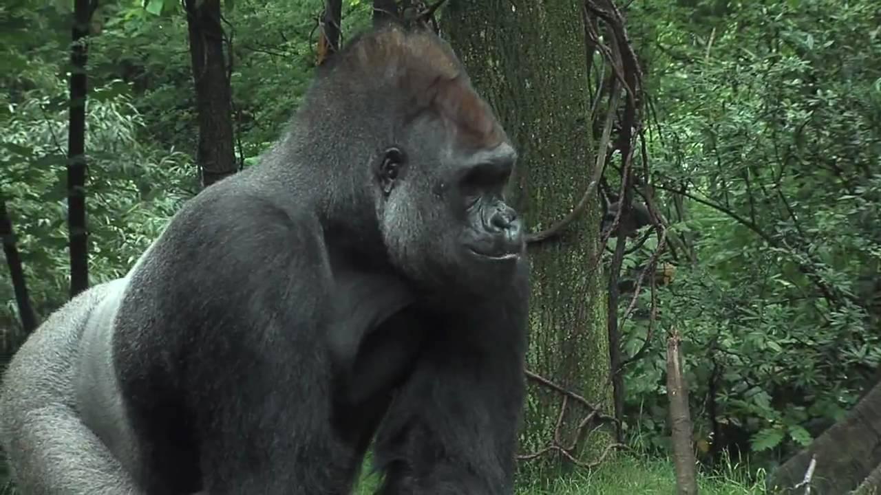 Bronx Zoo Gorillas Celebrate With Cupcakes Youtube