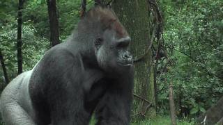 Bronx Zoo Gorillas Celebrate