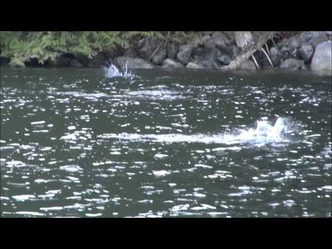 Jumping Fish In Indian Arm