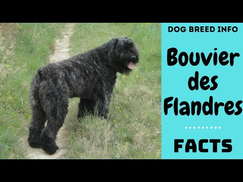 Bouvier des Flandres dog breed. All breed characteristics and facts about Bouvier des Flandres dogs