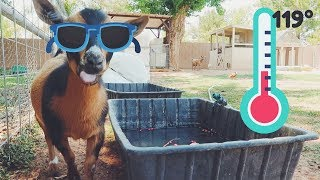 How to keep your farm animals COOL in the EXTREME HEAT!