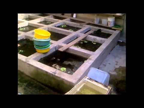 Mi criadero mas organizado doovi for Como hacer un criadero de peces