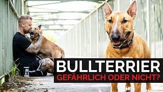 Miniature Bullterrier Rich | Gefährlicher Kampfhund oder nicht? Erfahrungsbericht und Rasseportrait
