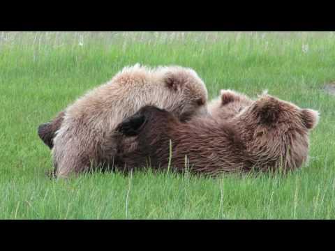 Brown Bear Cubs Nursing, Silver Salmon Creek
