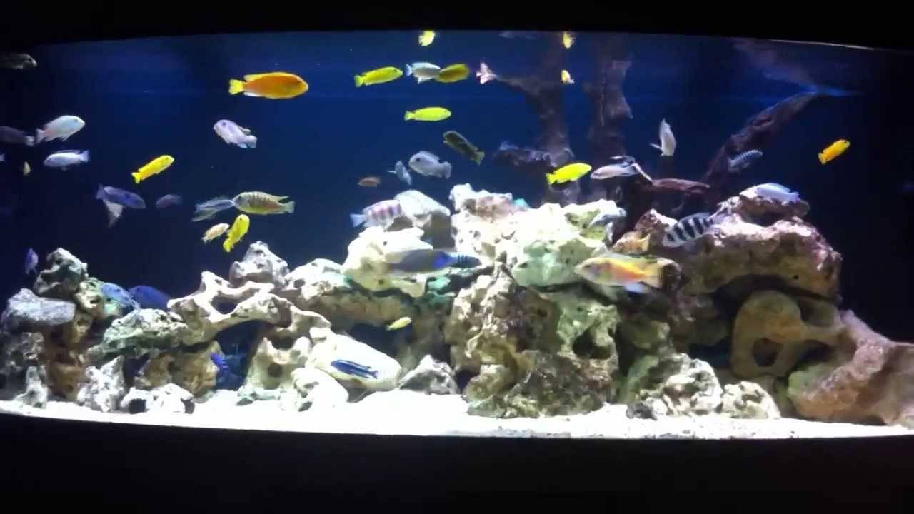 African cichlid tank 100 gallon aquarium with crabs   YouTube