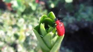 Лилиевый жук, луковая трещалка (Lilioceris lilii) - вредители сада(Лилиевый жук (лилиевая, или луковая трещалка Lilioceris lilii) - насекомое очень красивое и интересное, но приносяще..., 2014-05-24T17:53:08.000Z)