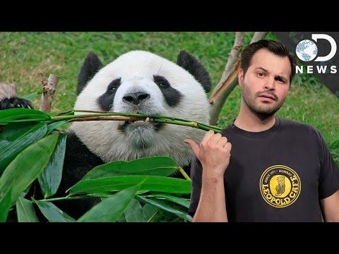 Why Pandas Suck At Being Pandas