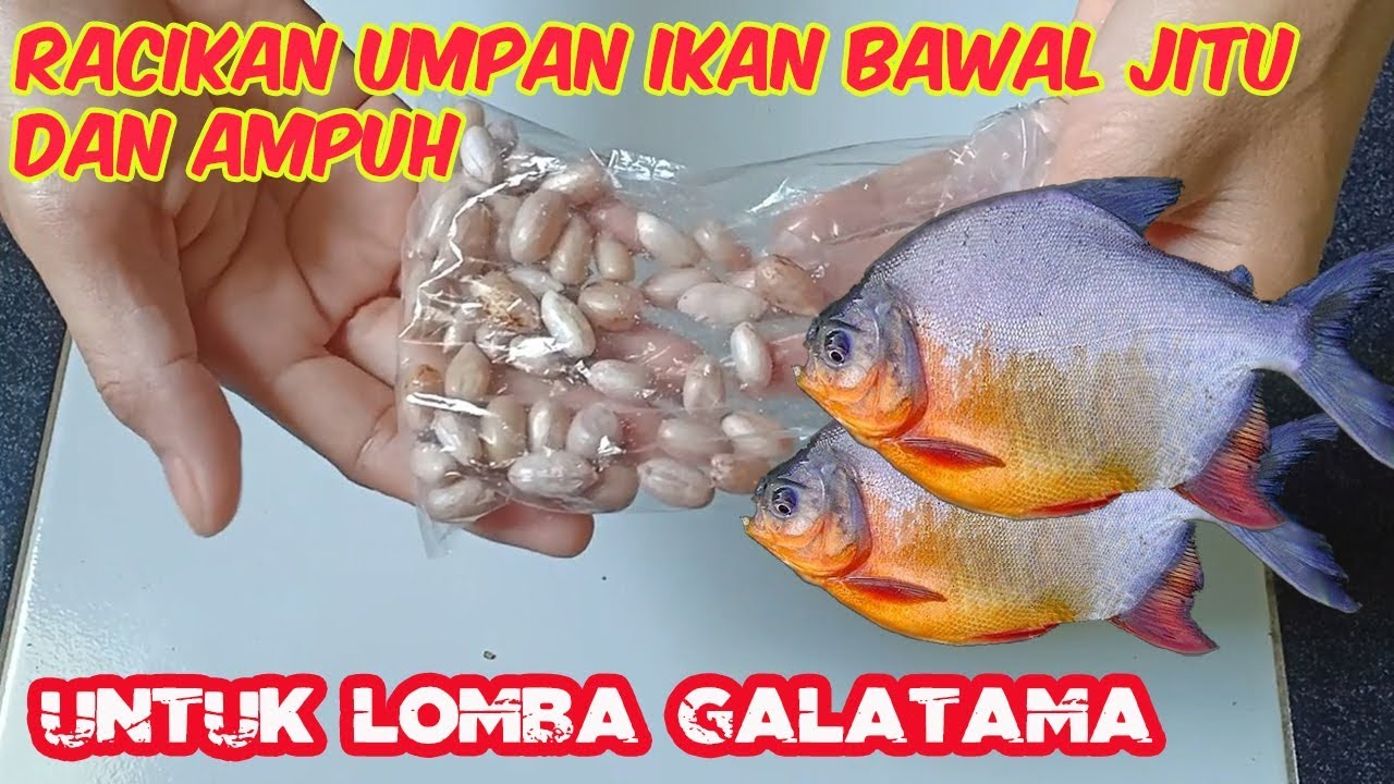 Umpan Ikan Bawal Jitu Dan Ampuh Bahan Kacang Tanah Youtube