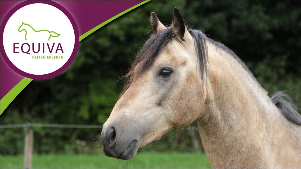 Das Connemara Pony