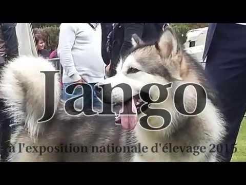 Jango NE 2015, alaskan malamute