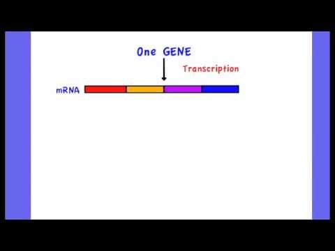 one gene polypeptide relationship