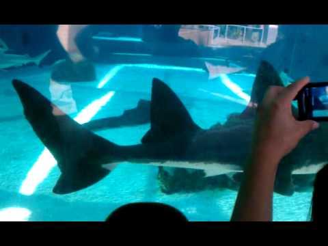 Viendo Tiburones En El Acuario De Long Beach You