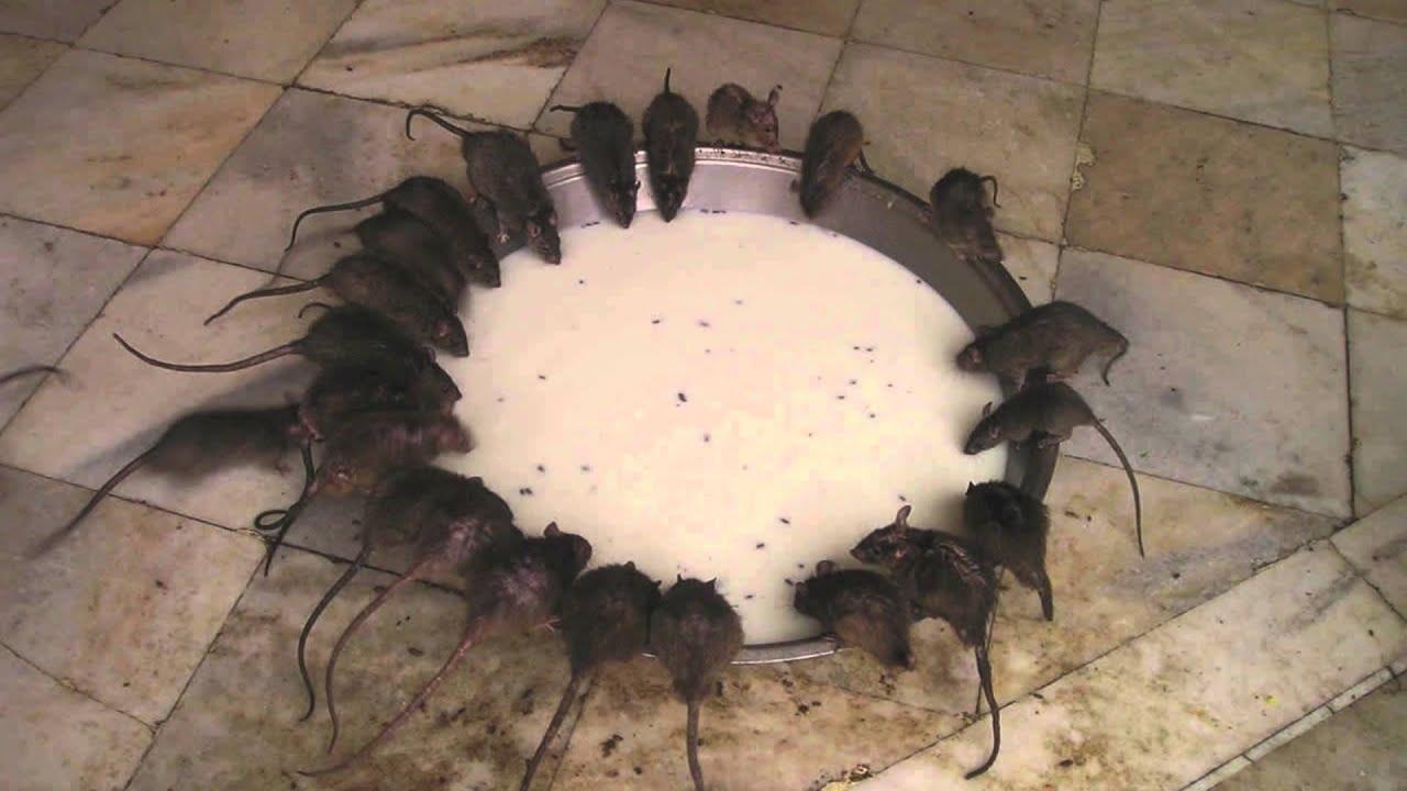 C mo elegir el mejor cebo para roedores youtube - Mejor veneno para ratones ...