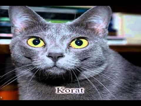 korat cat breed