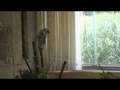監視員コアラさん Observer Koala