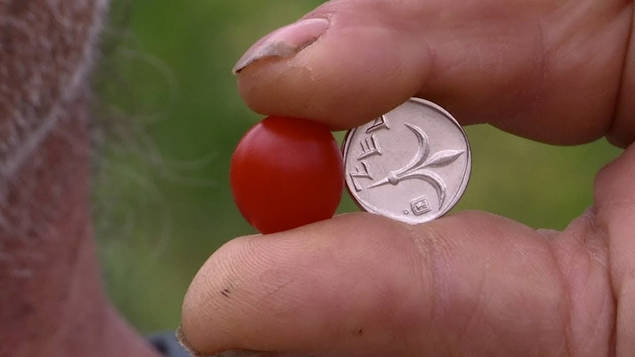 smaller but sweeter this is the world s tiniest cherry tomato