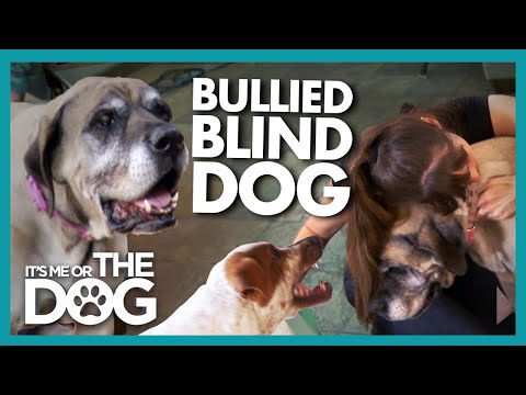 Elderly Blind Dog Bullied and Bumping around the House! | It's Me or The Dog