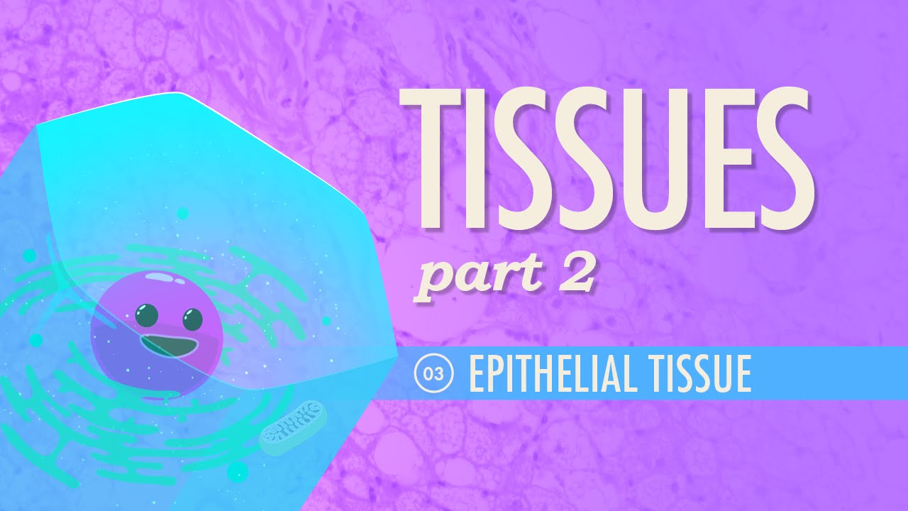 Tissues Part 2 Epithelial Tissue Crash Course Ap 3 Youtube