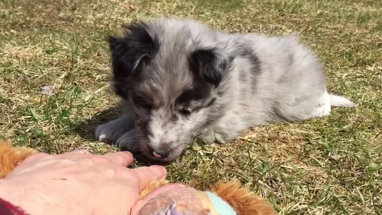 Quality Sheltie Puppies For Sale In Michigan Youtube