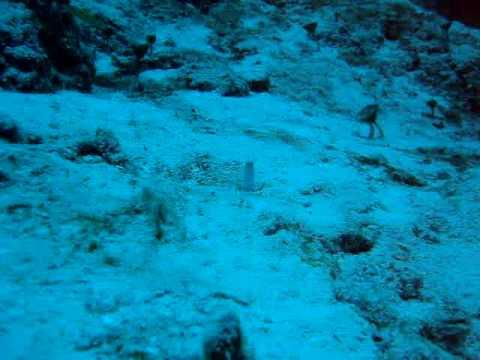 Pez Blennies (Arrecifes Cozumel Mex)