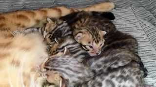 Spotted rosetted Bengaal kittens Mikeyla 12dagen oud 2015 HD