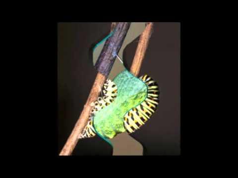 Macaone da bruco a farfalla youtube for Immagini da colorare bruco