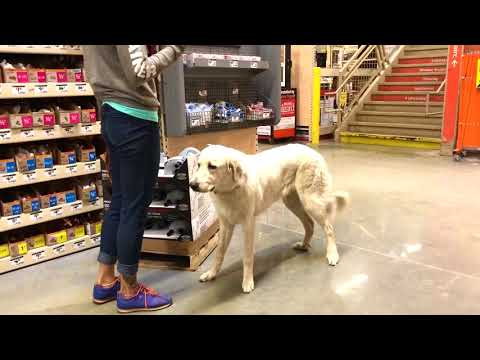 9 month old Anatolian Shepherd/Great Pyrenees, Inca! CA Dog Trainers