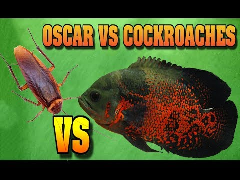 Oscar Fish VS Cockroaches FISH TANK AQUARIUMS HOW I FEED MY MONSTER FISH