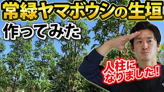 【生垣の新ステージ?】常緑ヤマボウシの生垣を作ってみたよ