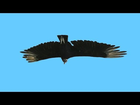 EPIC DIVE BOMBING VULTURES - Amazon River Monsters